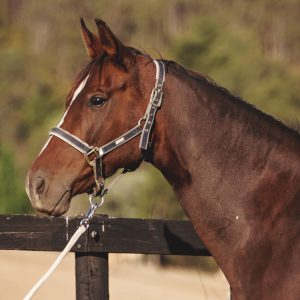 Springside-Warmbloods-Samsara Hit (Imp)